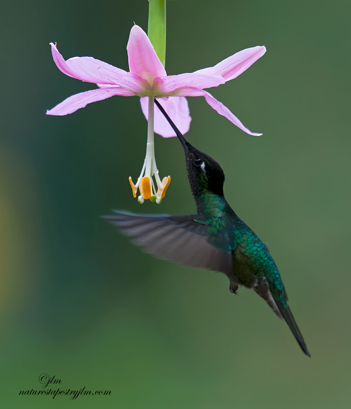 This was taken in the gardens of Savere in Costa Rica.  There are so many species of hummingbirds that look quite similar that I have not been able to definitely I.D. this little beauty.  They are constantly moving from flower to flower all day long and their energy was truly amzing.   Would love to have been able to tap in on some of it.