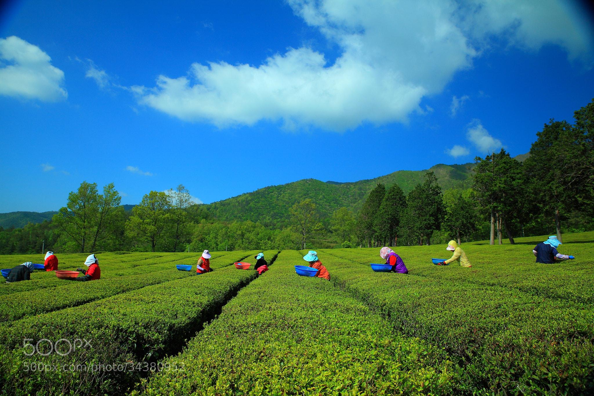 Photograph Green tea field landscape by 기문 kim on 500px