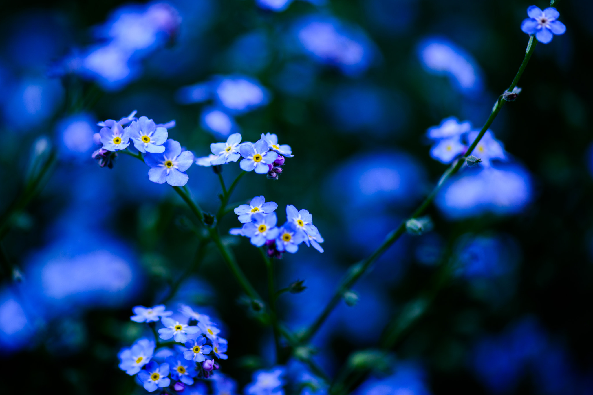 Photograph Forget-Me-Not by A. Mills on 500px