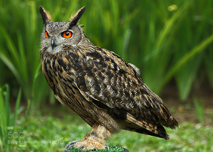 Photograph Owl by Erwin Saleh on 500px