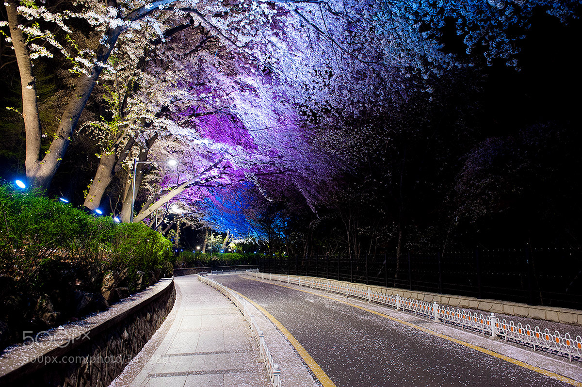 Photograph End of cherry blossoms by Mr. King on 500px