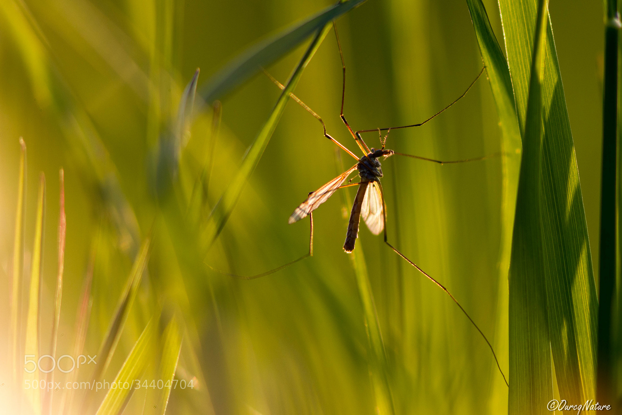 Photograph Mosquito  by Julien LAURENT on 500px