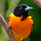Baltimore Oriole ~ Male