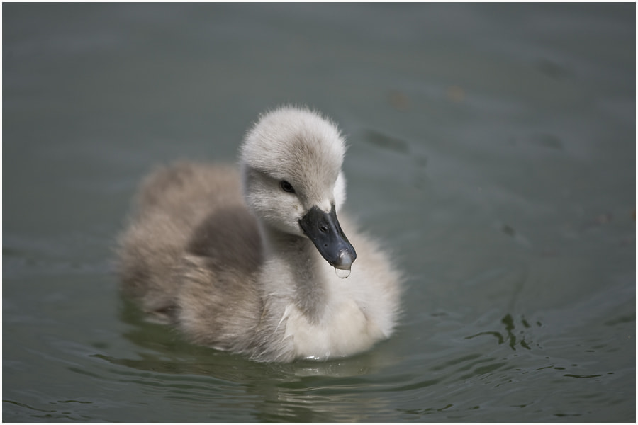 Photograph The ugly duckling by Simon Kurz on 500px
