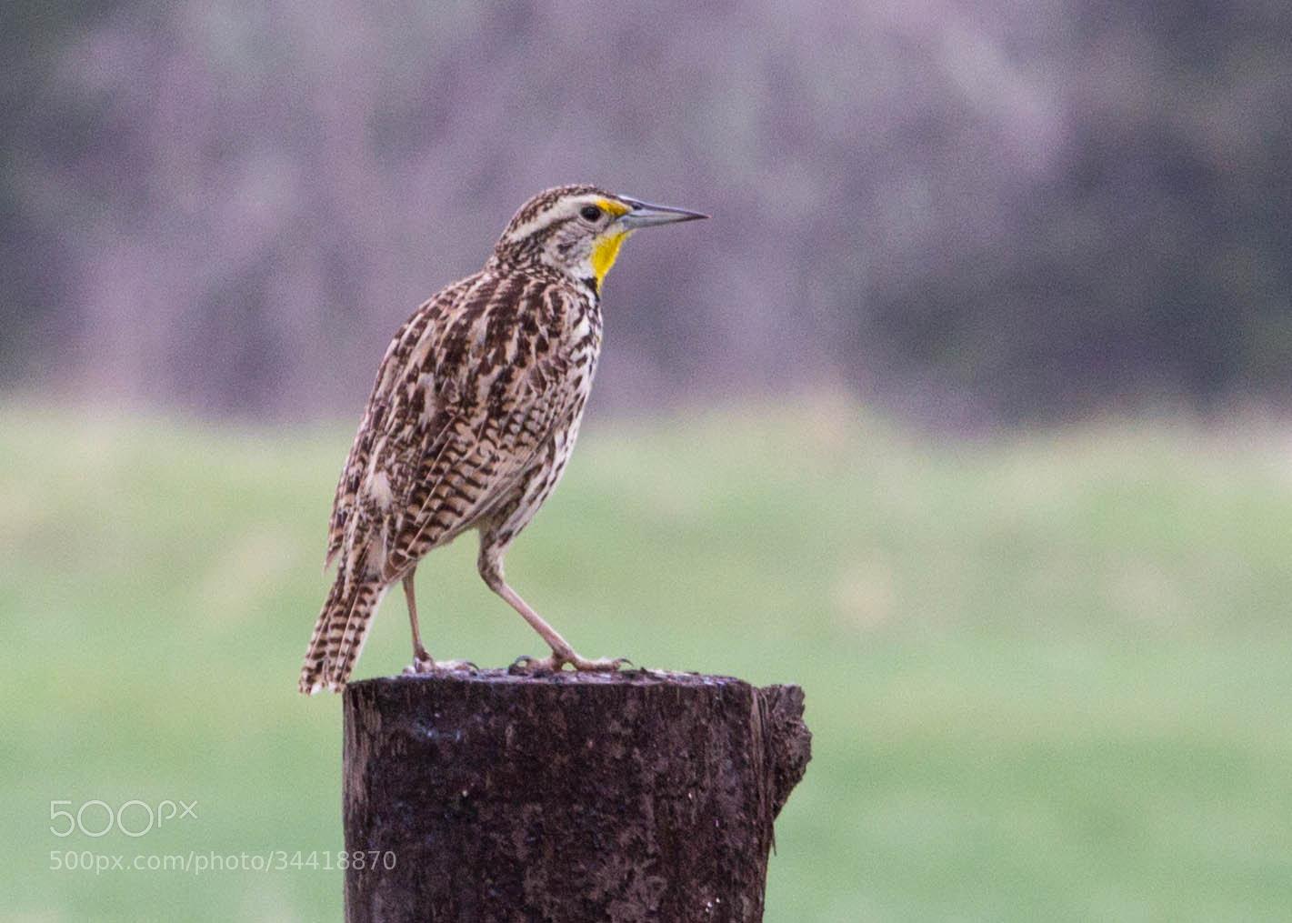 Photograph Meadowlark by Leigh Taylor on 500px