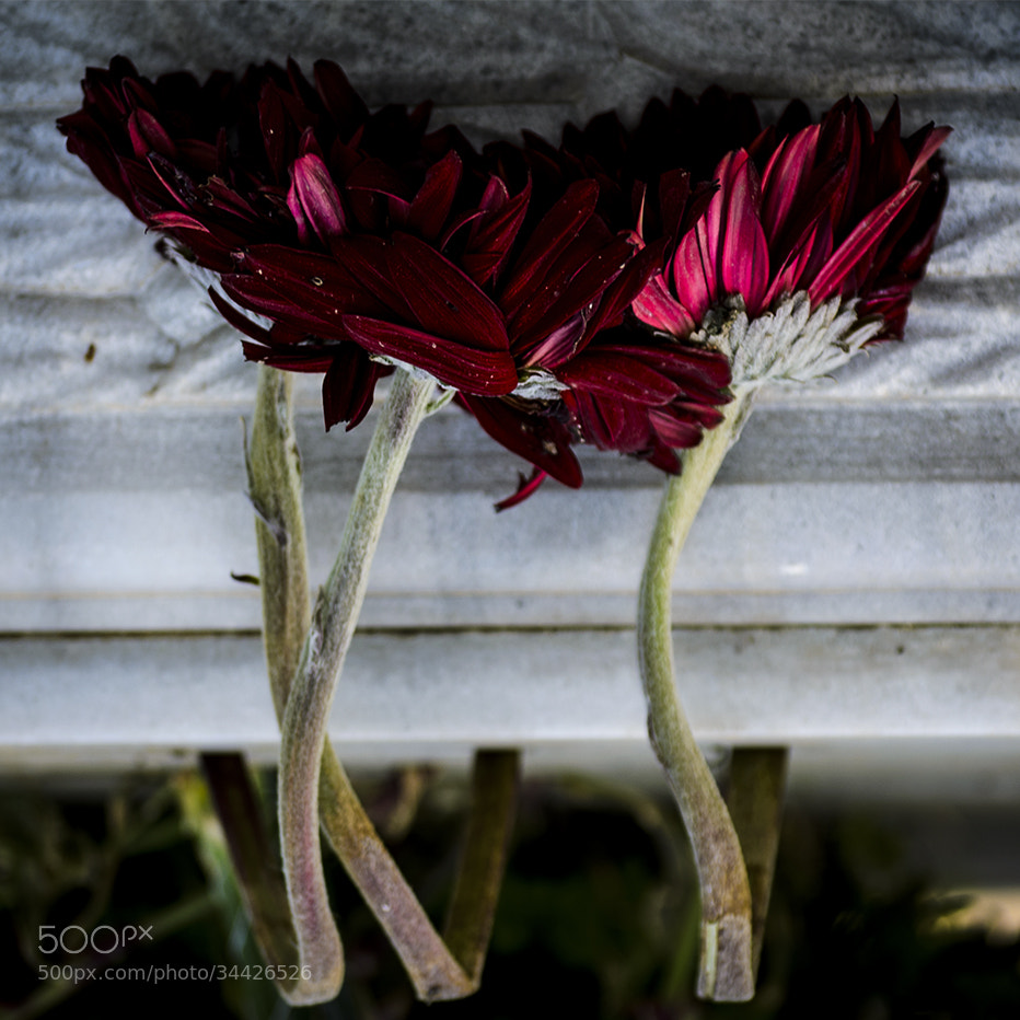 Photograph dying beauty by cem kekeva on 500px