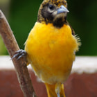 Baltimore Oriole ~ Female