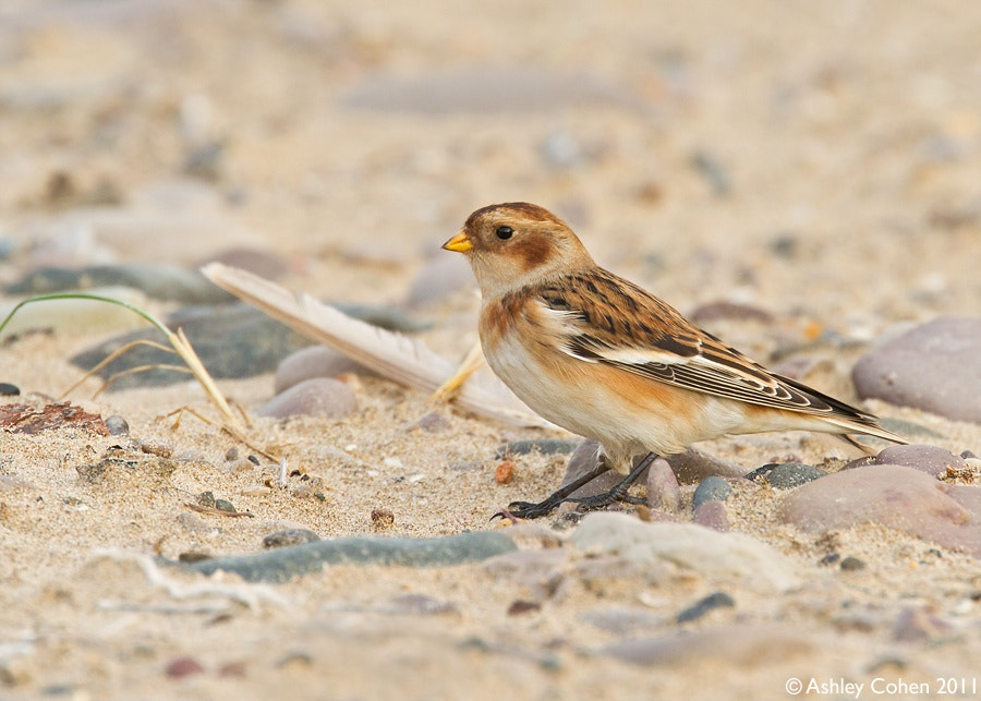 Photograph Snow Bunting by Ashley Cohen on 500px