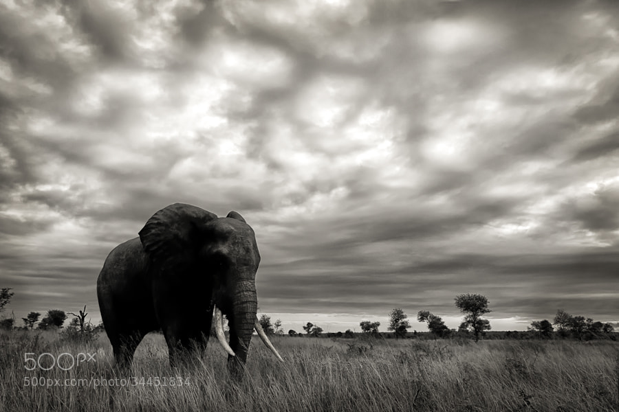 Photograph Elephant Plains by Mario Moreno on 500px