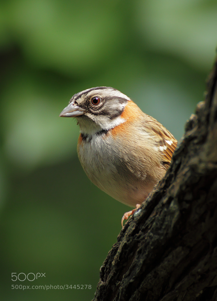 Photograph Rufous-collared Sparrow (Zonotrichia capensis) by Raphael Martignoni on 500px