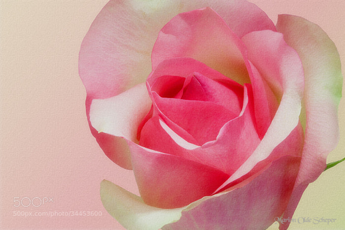 Photograph ROMANCE IN PINK by Marion Olde Scheper on 500px