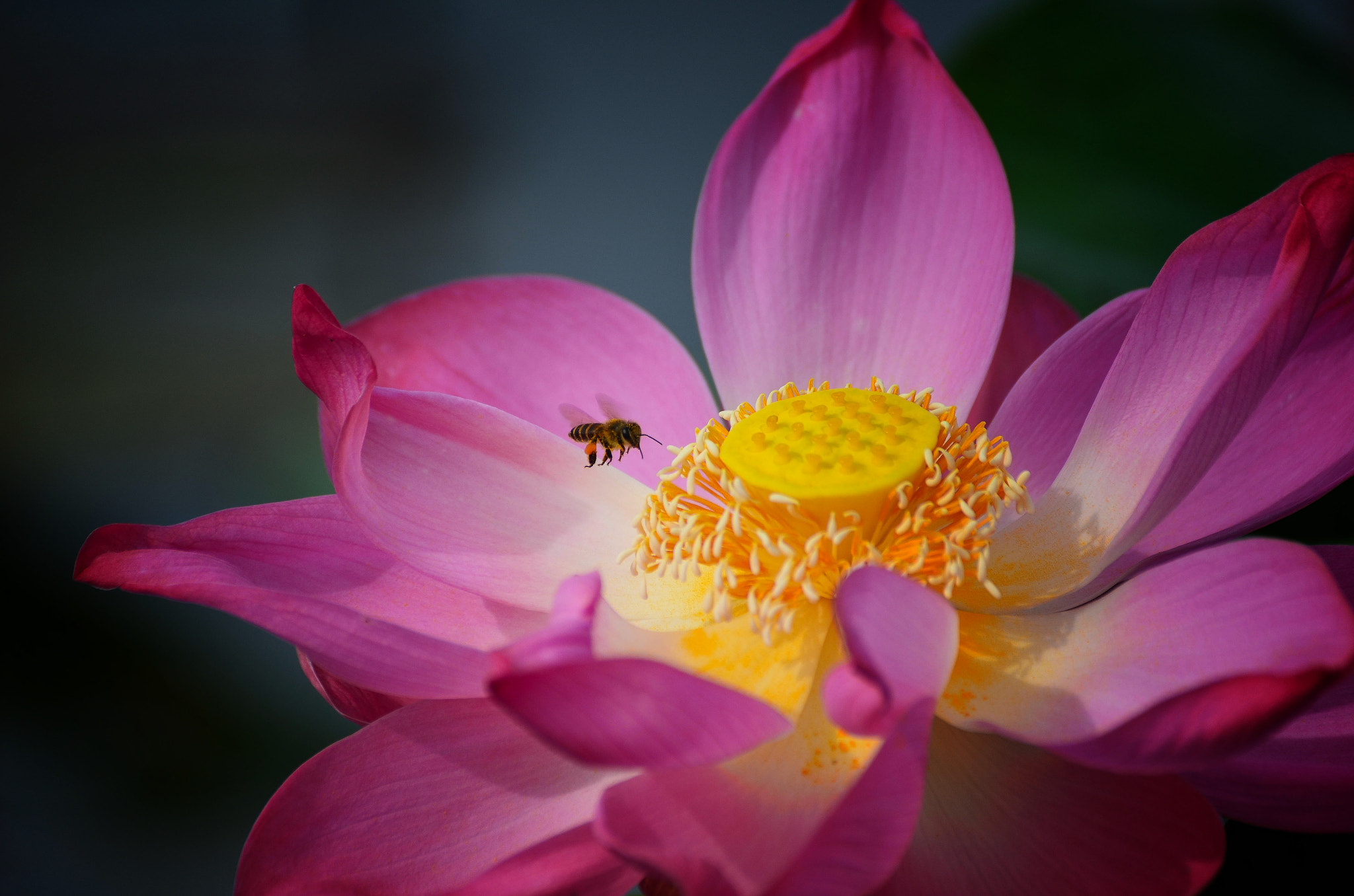 Photograph Bee by Nuang Sangkhsri on 500px