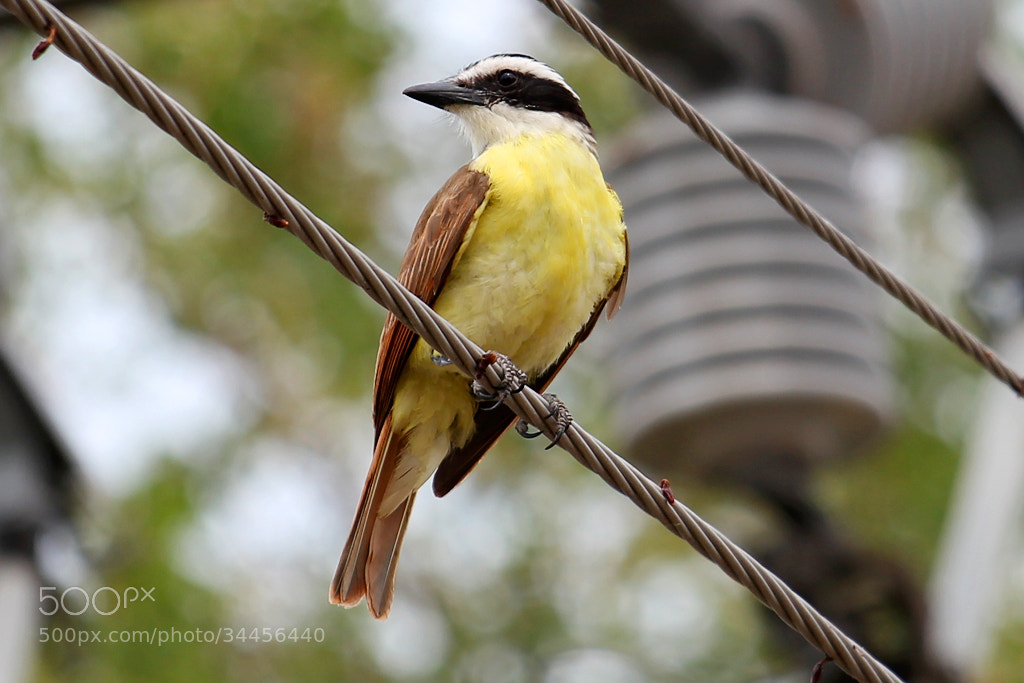 Photograph Great Kiskadee by Ivan Hernandez on 500px