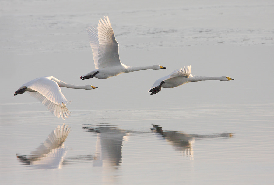 Photograph Whooper Swans in Flight by ajs73 on 500px