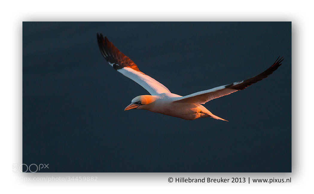 Photograph Northern Gannet by Hillebrand Breuker on 500px