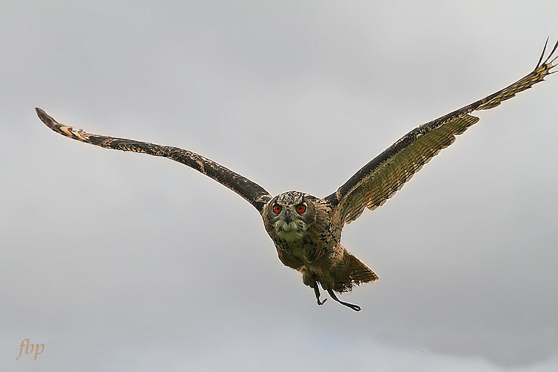 Photograph Uhoo on the wing by Dave Smith on 500px
