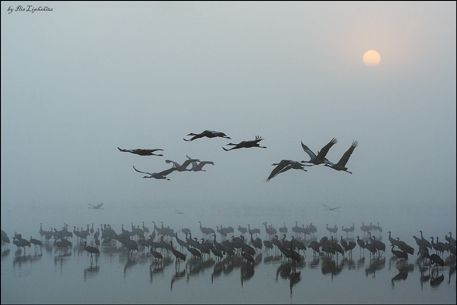 Common Cranes in mist №3