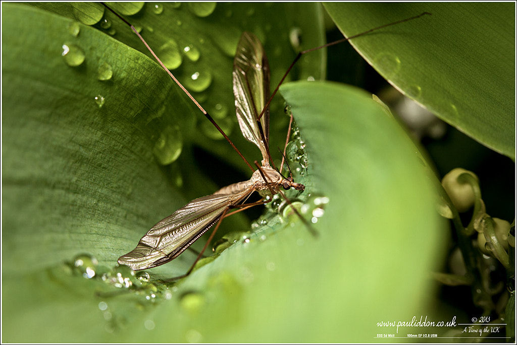 Photograph Cranefly in the rain droplets... by Paul Iddon on 500px