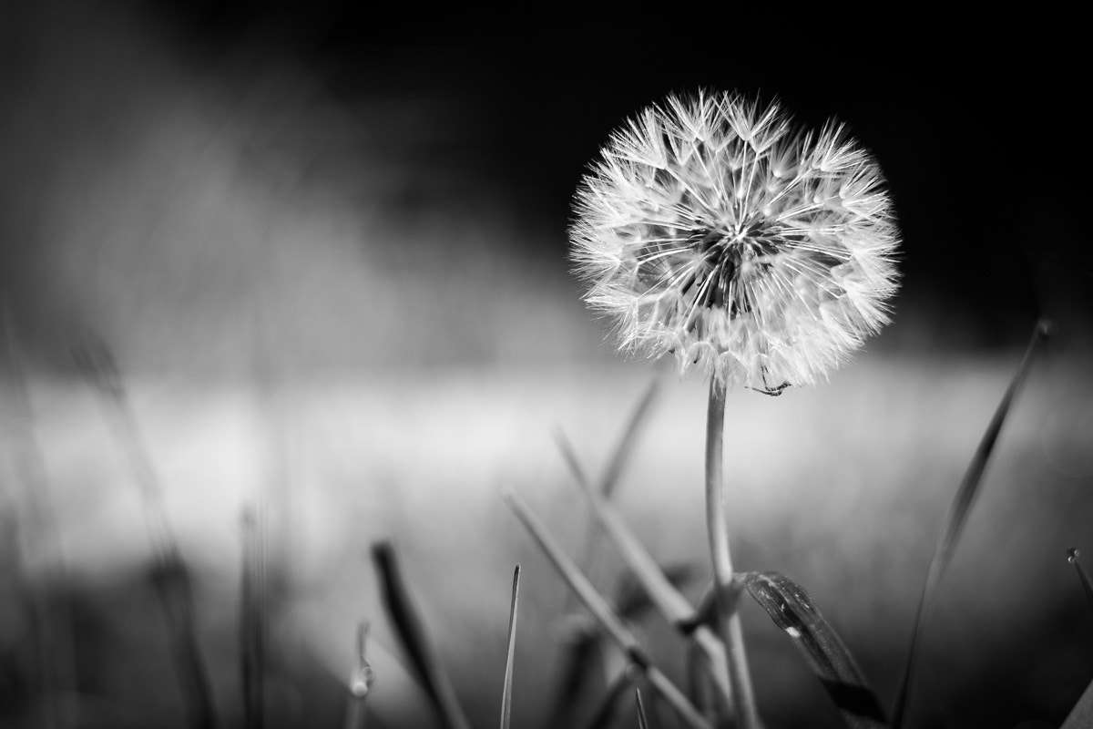 Photograph Blowball by Max Sammet on 500px