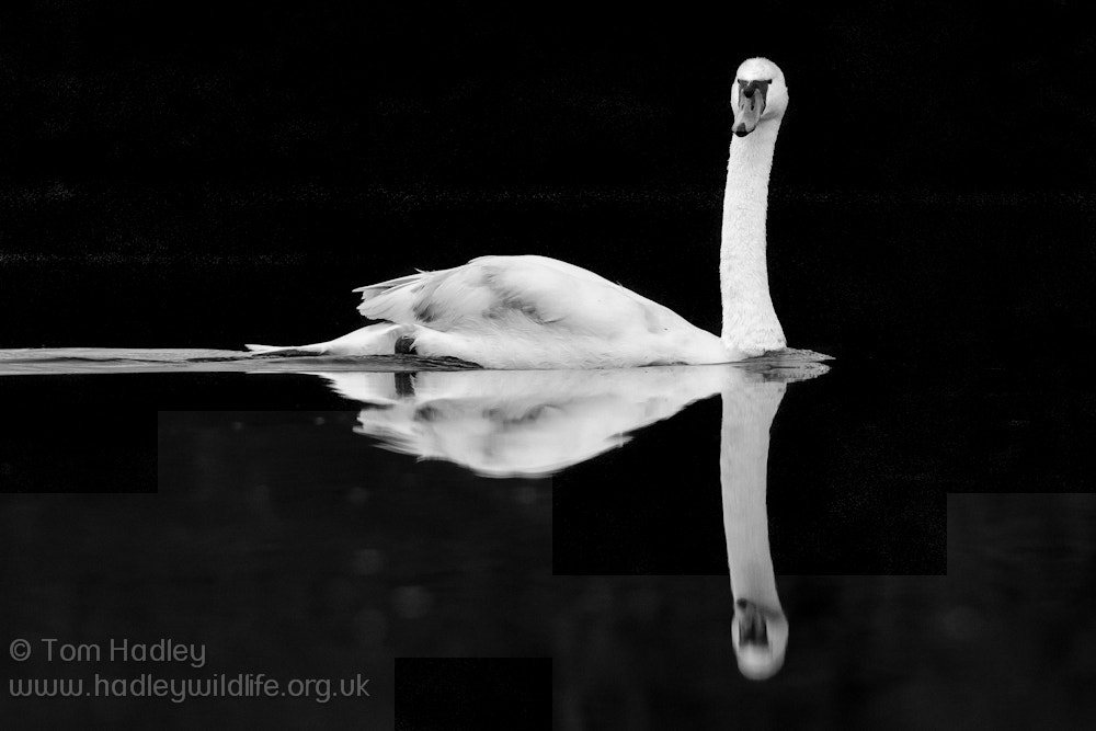 Photograph Mute Swan on black by Tom Hadley on 500px