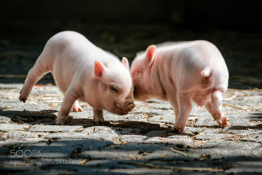Photograph Playing pigs by Thorsten Scheel on 500px