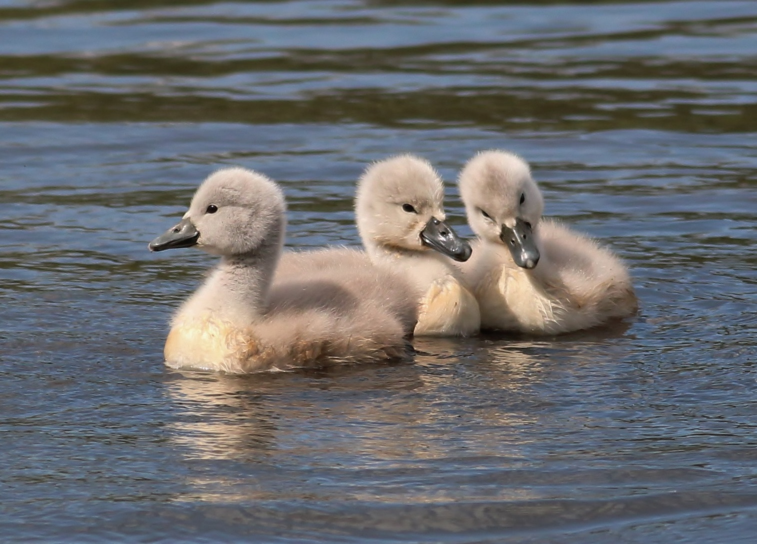 Photograph  3 young Cygnets  by Paul Wyman on 500px