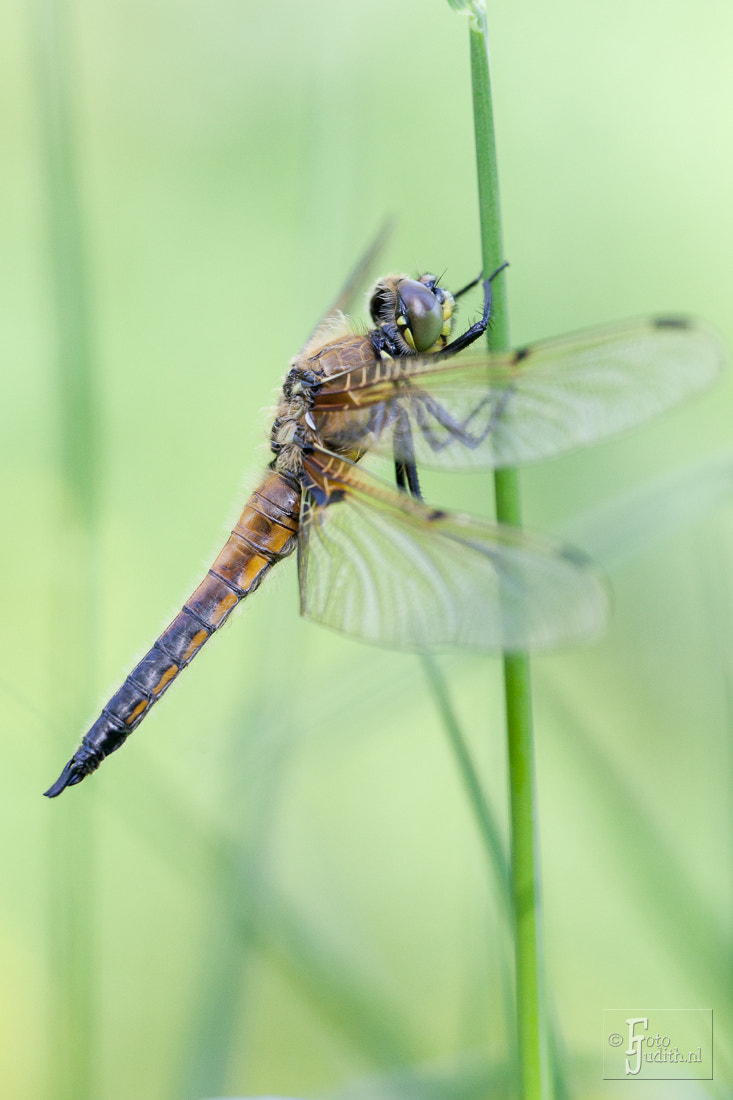Photograph Dragonfly by Judith Borremans on 500px