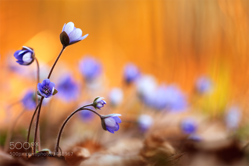 Photograph hepatica nobilis by Stephan Amm on 500px