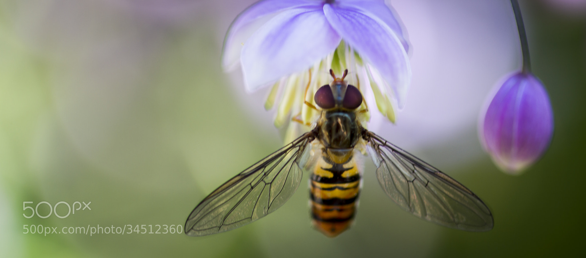 Photograph Hoverfly by Tom Nielsen on 500px
