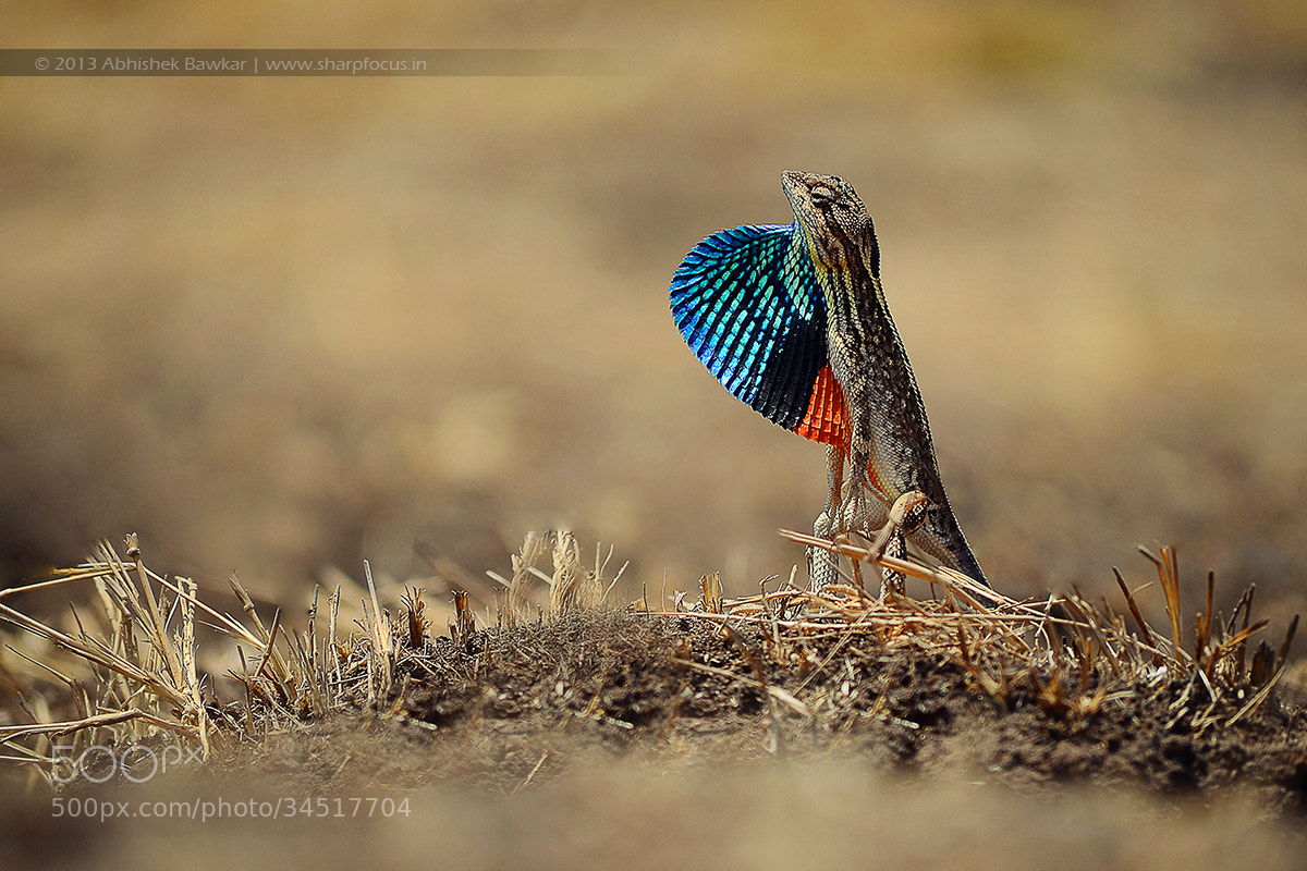 Photograph Fan Throated Lizard (Sitana Ponticeriana) by Abhishek Bawkar on 500px