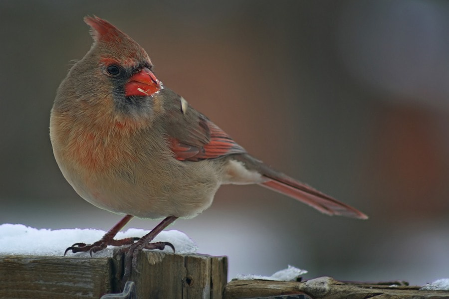 Photograph Female Northern Cardinal by Darren Swim on 500px
