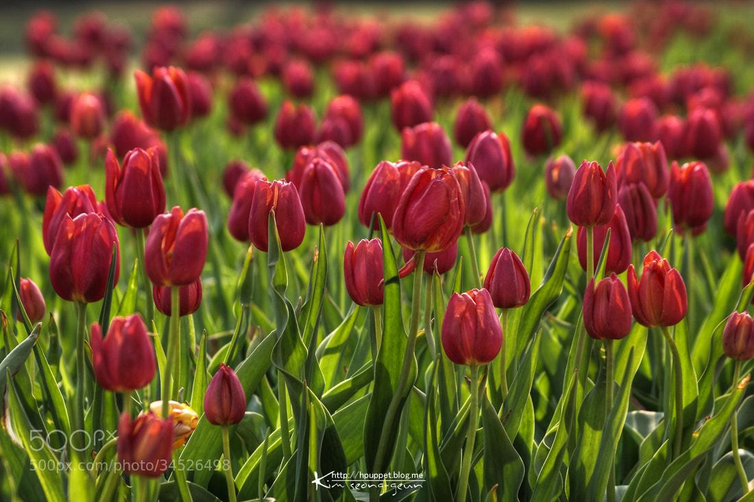 Photograph Tulip by kim seong-geun on 500px