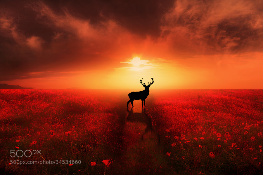 Photograph Poppy Field Dreams by Jenny Woodward on 500px