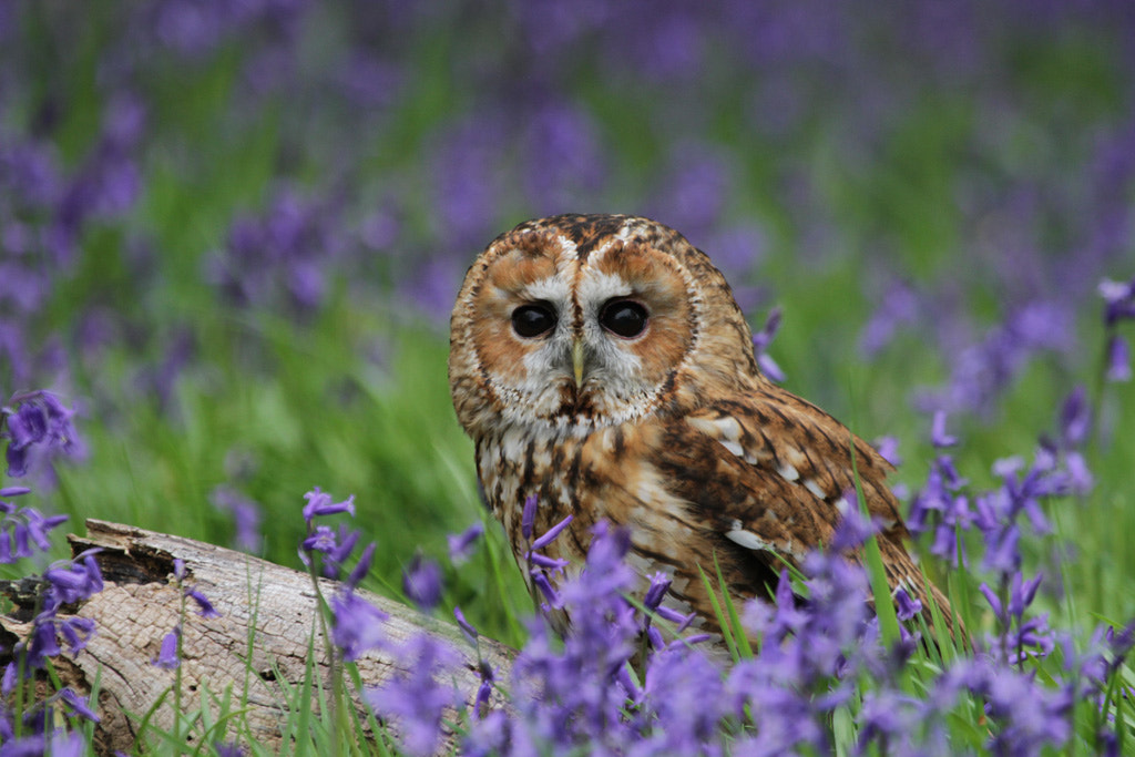 Photograph Tawny Owl in Bluebells by Pat Walker on 500px