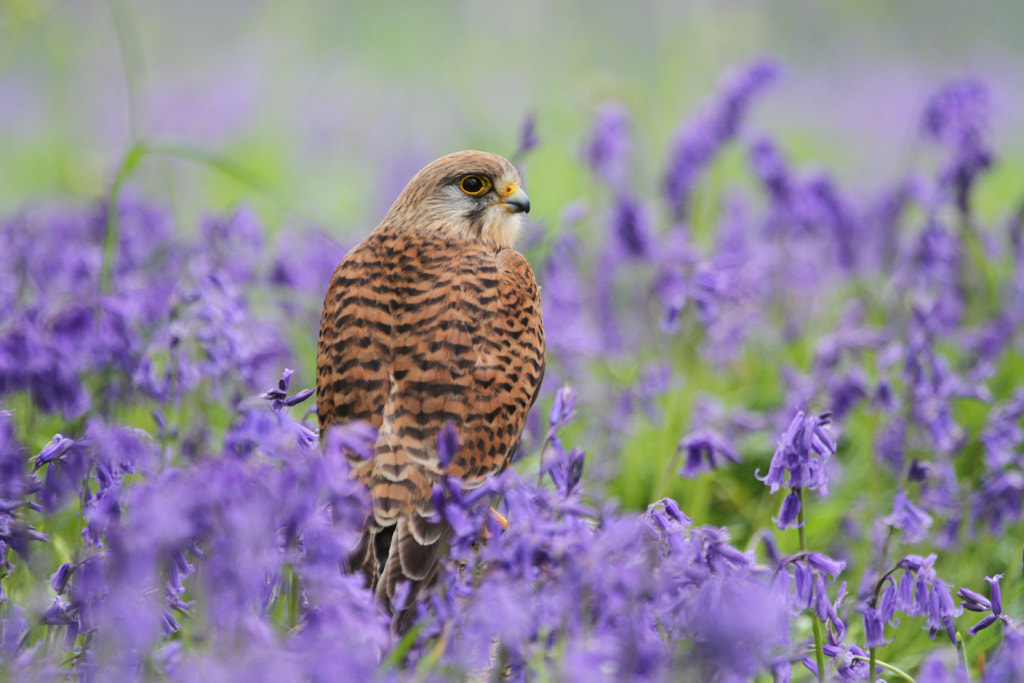 Photograph Kestrel in Bluebells by Pat Walker on 500px