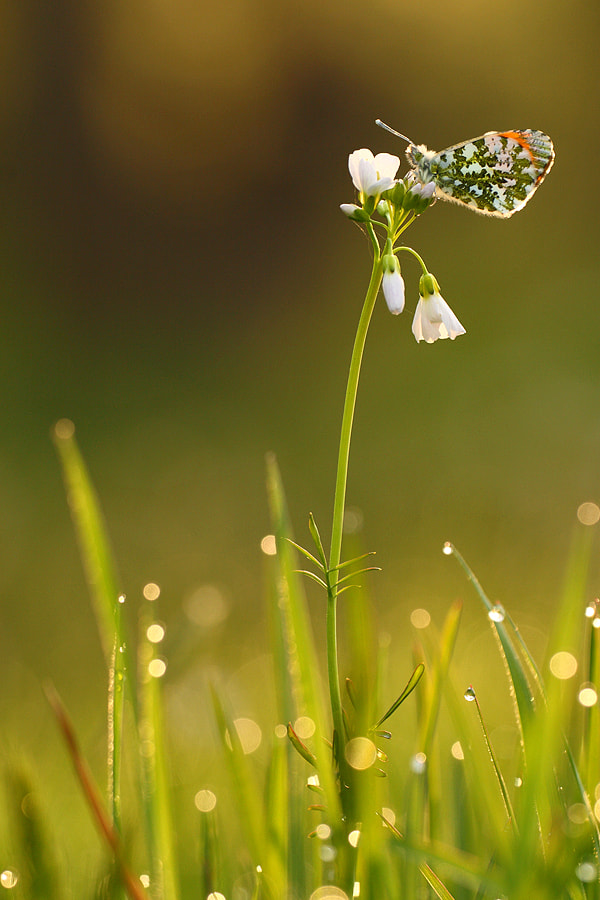 Photograph Orange-tip by Johannes van Donge on 500px