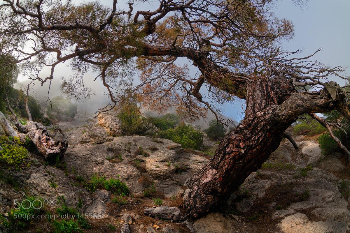 Photograph Crimean pine by Sergey Ershov on 500px