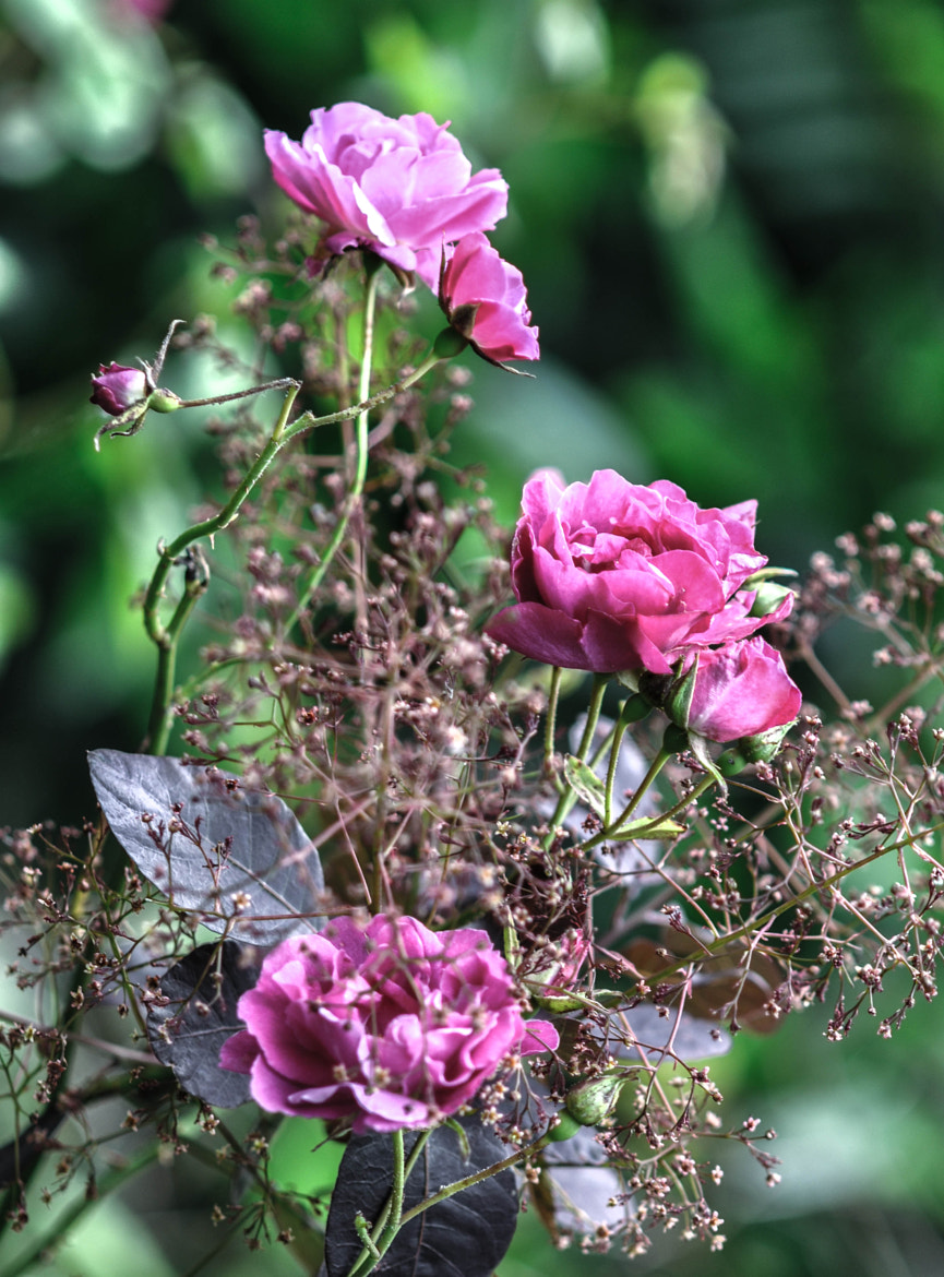 Photograph Smoke Tree with Roses by Tracy Lamus on 500px