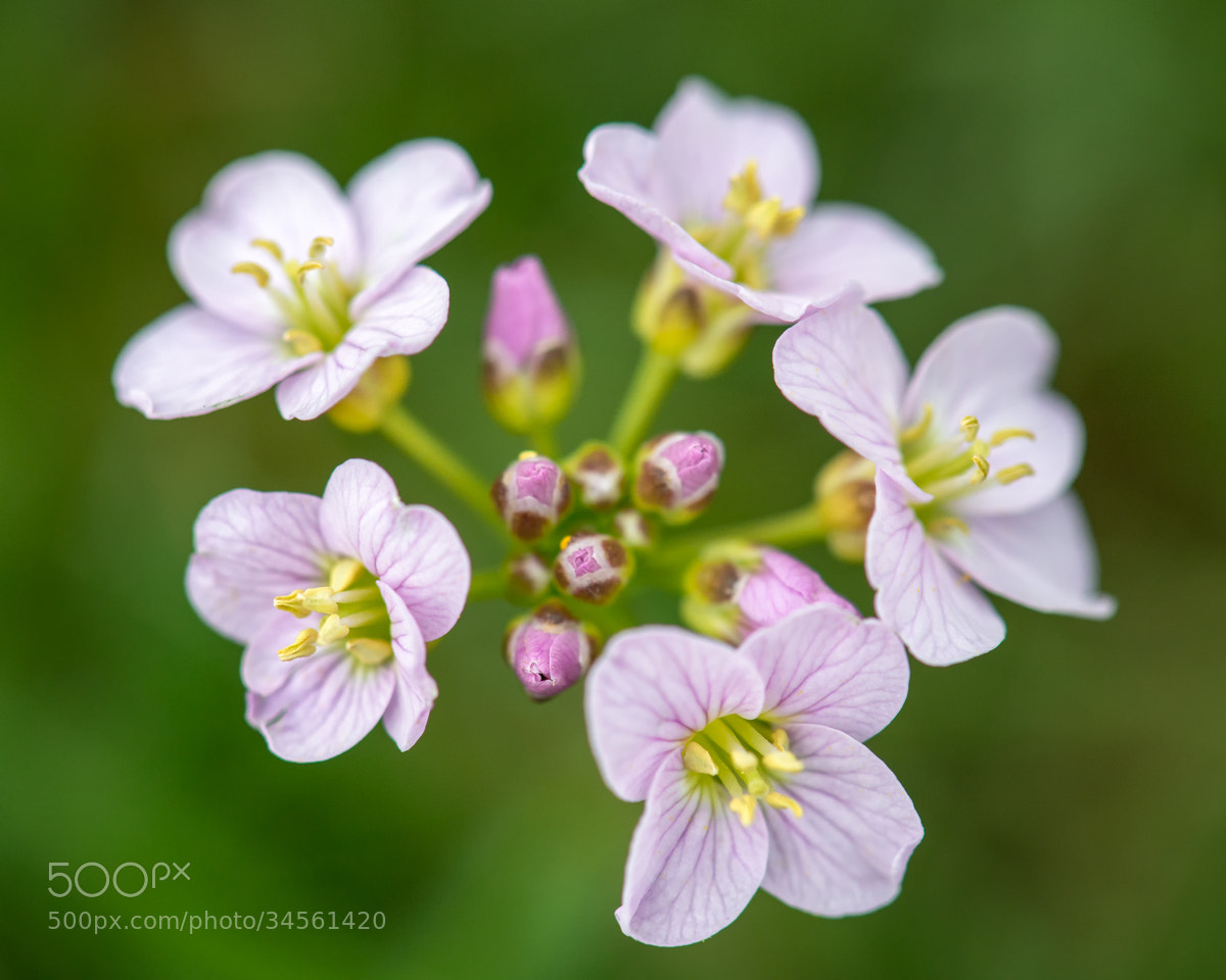 Photograph Cuckoo-flower (Cardamine pratensis) by Ben Robson Hull on 500px