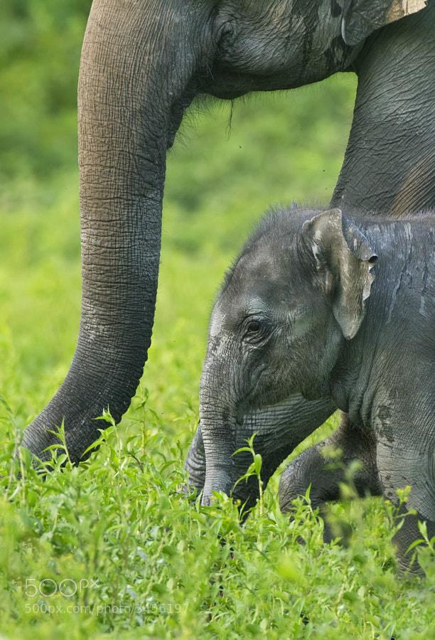 A young Asian Elephant walks across the lish green plains of Kaziriga, India
