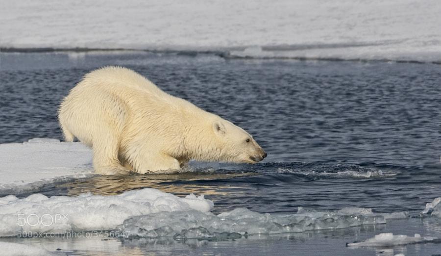 A Youn Polar Bear follows his Mum into the icy seas around Svalbard, Norway