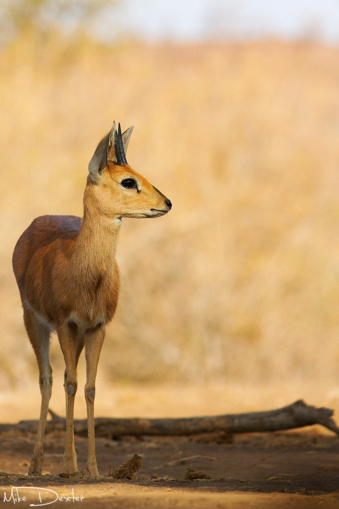 Photograph Steenbok stare by Mike Dexter on 500px