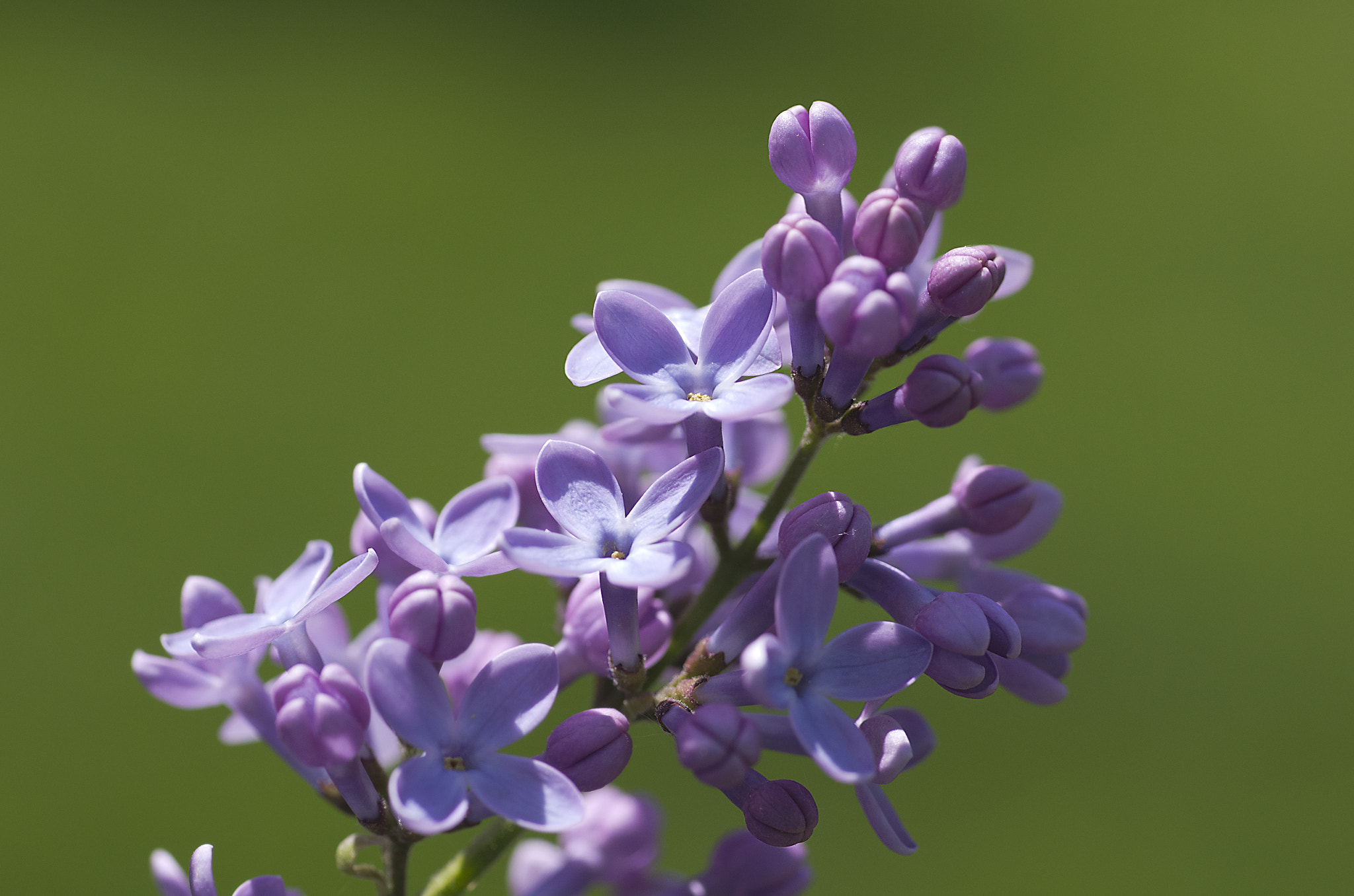 Photograph Scent of Lilacs! by Francisco Marty on 500px