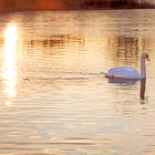 Peaceful Swan on Lake