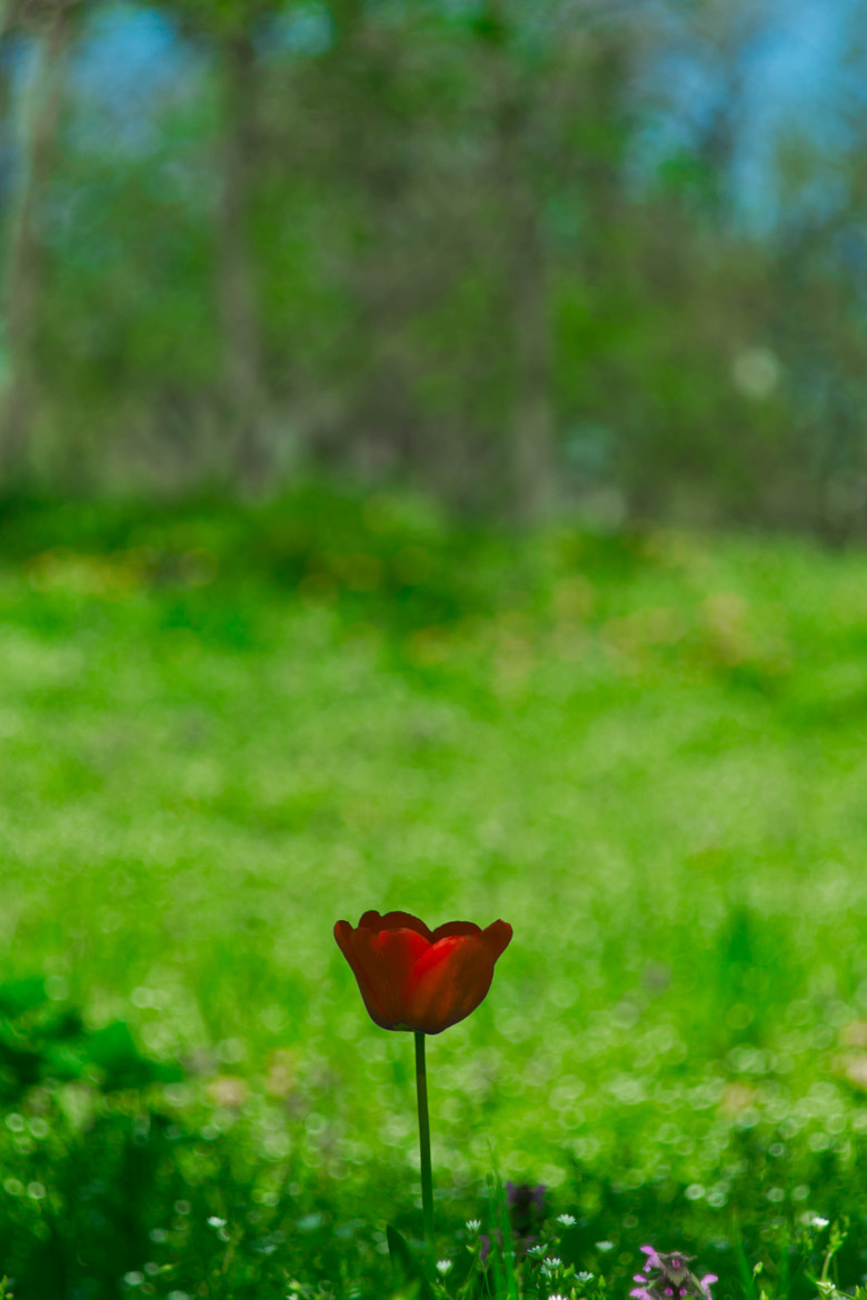 Photograph tulip by Artem Perepechkin on 500px