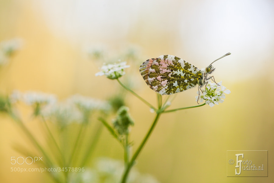 Photograph Orangetip by Judith Borremans on 500px
