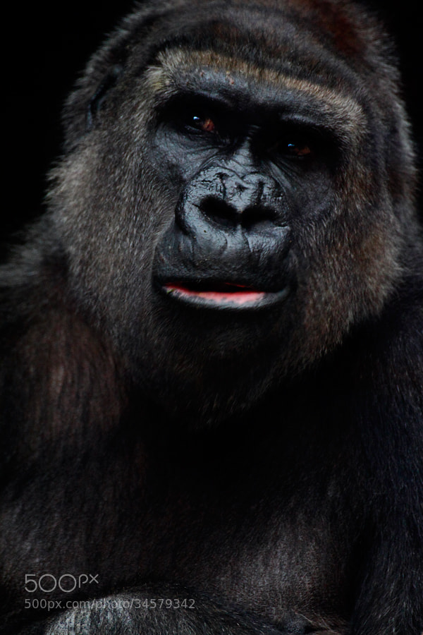 Photograph Gorilla (c) by Andrés López on 500px