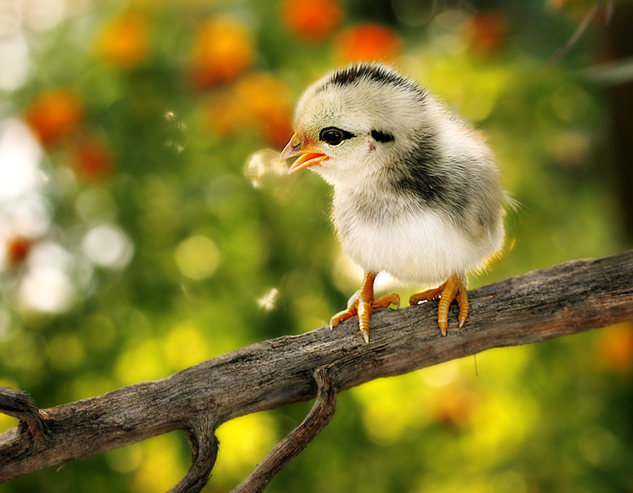 Photograph Chicky singing ! by Prachit Punyapor on 500px