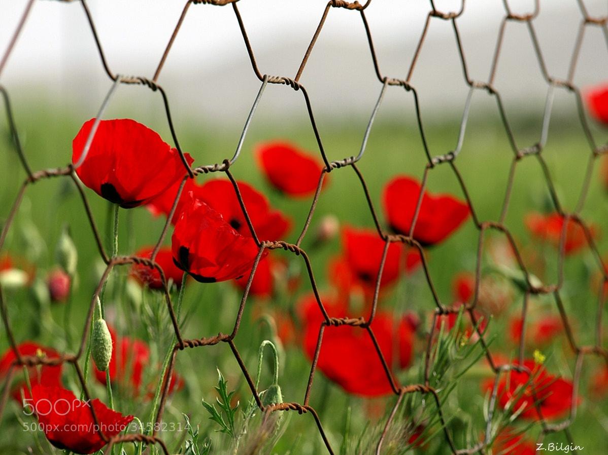 Photograph poppy flower by Zeki Bilgin on 500px