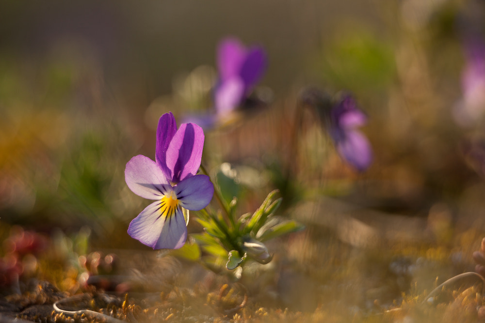 Photograph Viola tricolor by Benjamin Zocholl on 500px